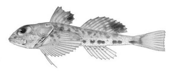 Image of <i>Atopocottus tribranchius</i> Bolin 1936