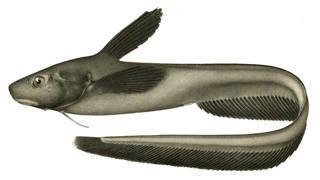 Image of <i>Ijimaia plicatellus</i> (Gilbert 1905)