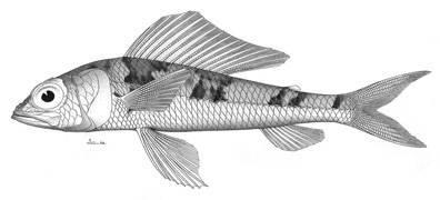 Image of <i>Aulopus japonicus</i>