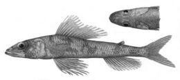Image of Mediterranean flagfin