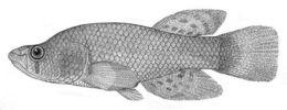 Image of <i>Austrofundulus limnaeus</i> Schultz 1949