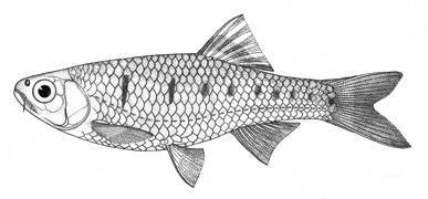 Image of <i>Barilius nanensis</i>