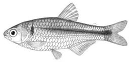 Image of <i>Knodus meridae</i> Eigenmann 1911
