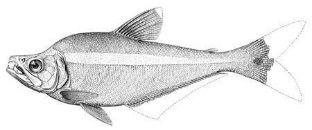 Image of <i>Cynopotamus argenteus</i> (Valenciennes 1836)