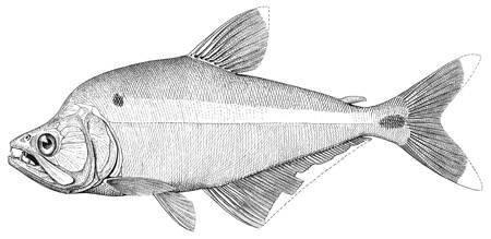 Image of <i>Cynopotamus atratoensis</i> (Eigenmann 1907)
