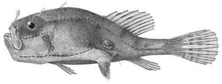 Image of <i>Chaunax umbrinus</i> Gilbert 1905