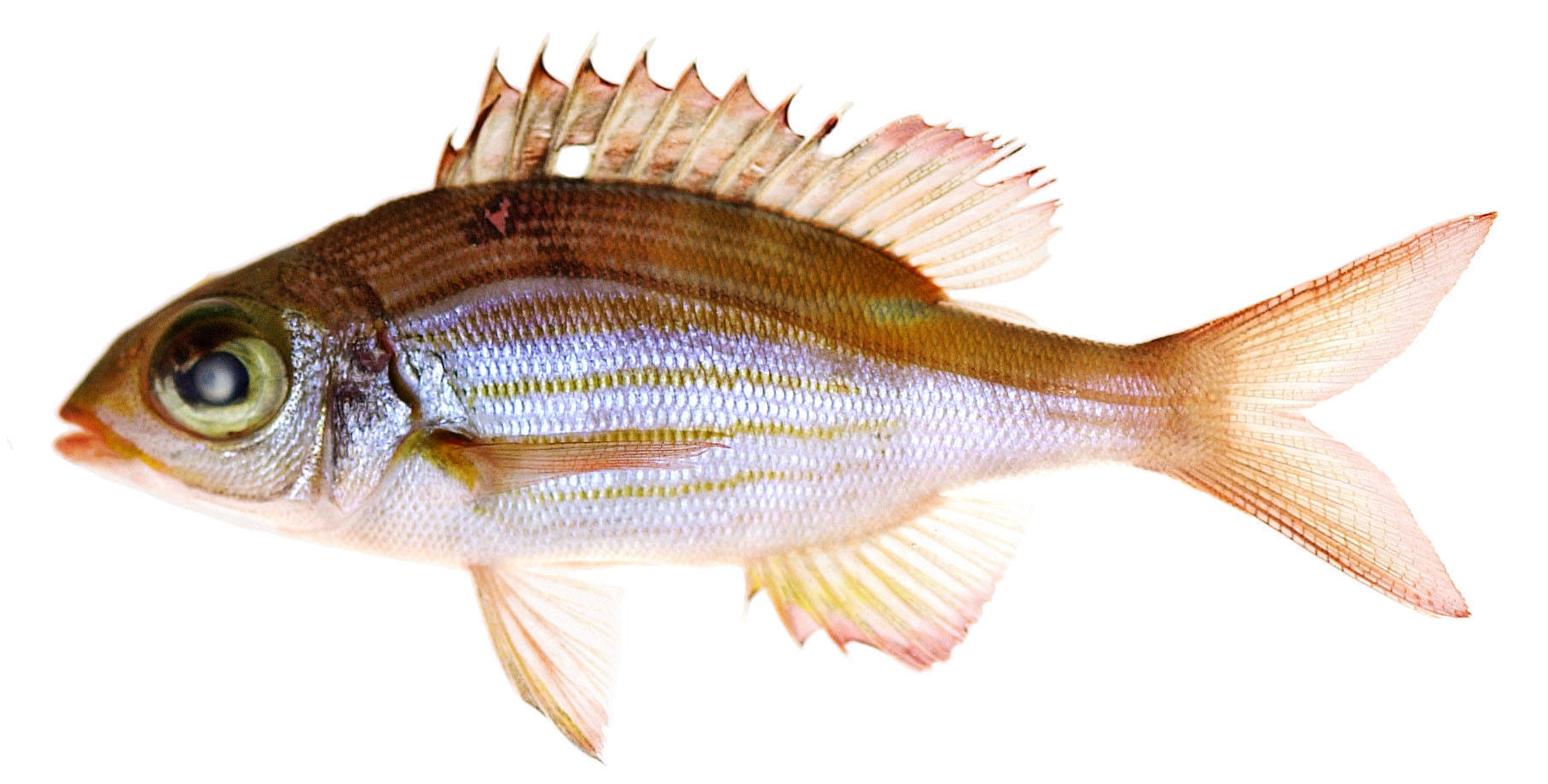 Image of Glowfish