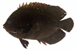 Image of Dusky angel-fish
