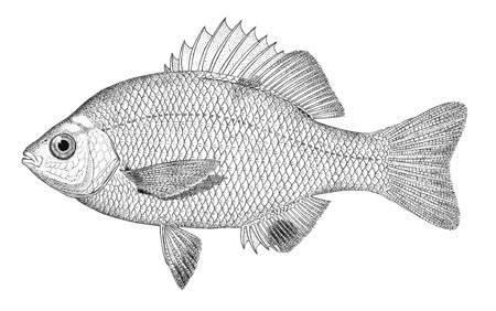 Image of dwarf perch