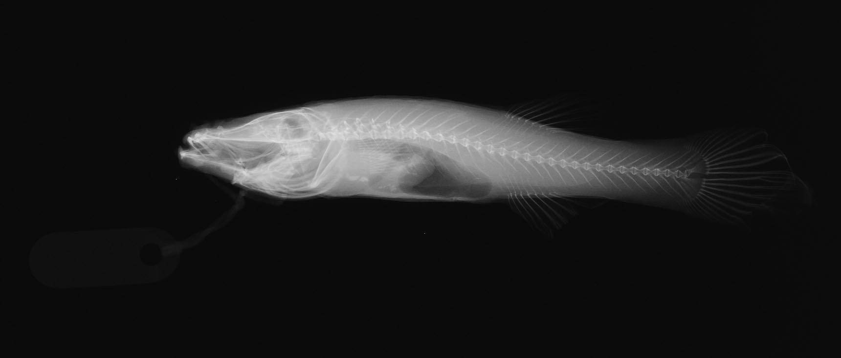 Image of Northern Cavefish