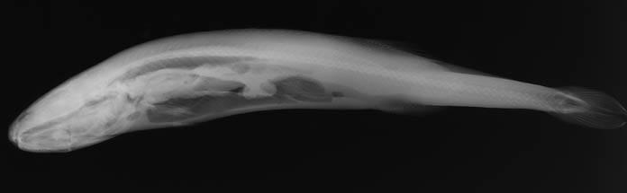 Image of Smalleye Squaretail