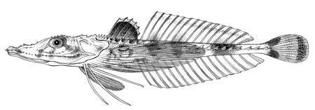 Image of <i>Hoplichthys pectoralis</i> (Fowler 1943)