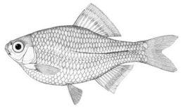 Image of <i>Acanthorhodeus deignani</i>