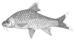 Image of <i>Acrossocheilus malcolmi</i>