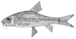 Image of <i>Acrossocheilus vittatus</i>