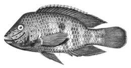 Image of <i>Aequidens rivulatus</i>