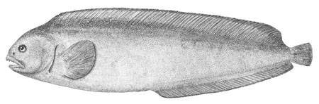 Image of Northern wolffish