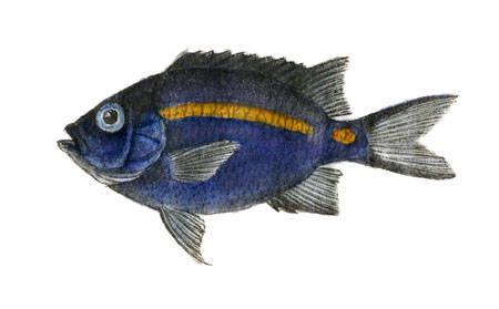 Image of Damselfish