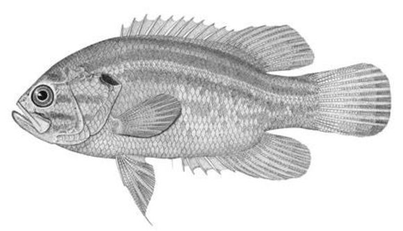Image of Mud Sunfish
