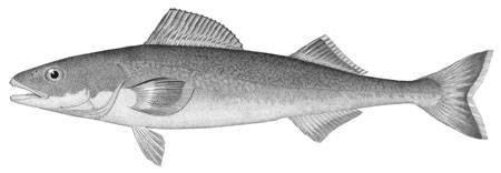 Image of Sablefish