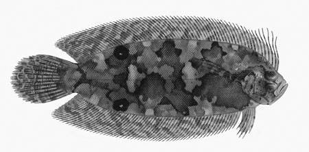 Image of Coralline-red flounder
