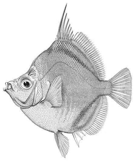 Image of roseate boarfish