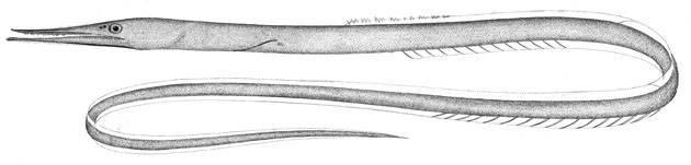 Image of Serrivomer