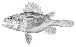Image of <i>Setarches parmatus</i>