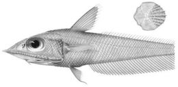 Image of <i>Coelorinchus macrolepis</i> Gilbert & Hubbs 1920