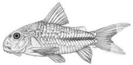 Image of Blackstripe corydoras