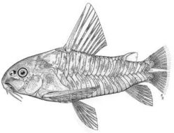 Image of peppered corydoras