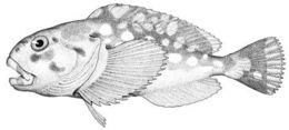 Image of <i>Cottunculus brephocephalus</i>