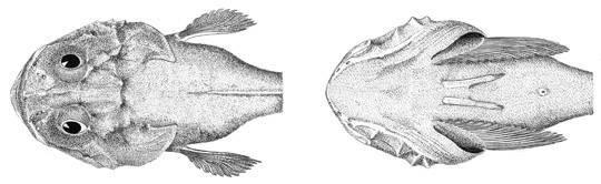 Image of polar sculpin