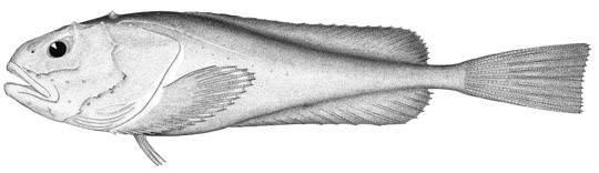 Image of pallid sculpin