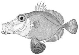 Image of Rosy Dory