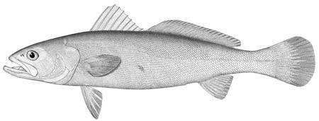 Image of <i>Cynoscion viriscens</i>