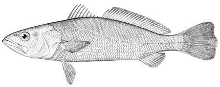 Image of Sand Seatrout