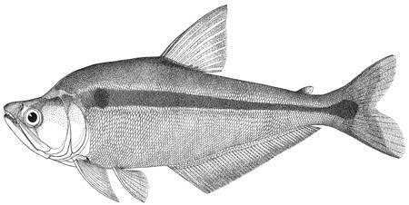 Image of <i>Cynopotamus venezuelae</i> (Schultz 1944)
