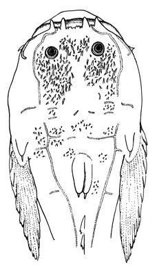 Image of Schmitt's toadfish