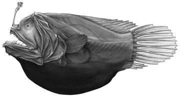 Image of <i>Dermatias platynogaster</i> Smith & Radcliffe 1912