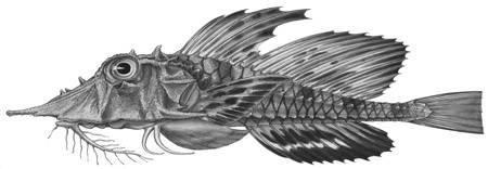Image of <i>Gargariscus semidentatus</i> Smith