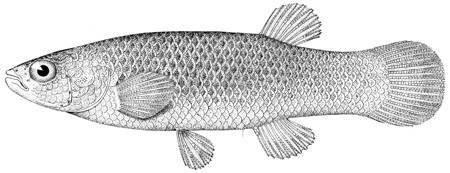Image of Golden Topminnow