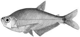 Image of <i>Gilbertolus maracaiboensis</i> Schultz 1943