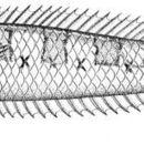 Image of halfbanded stargazer
