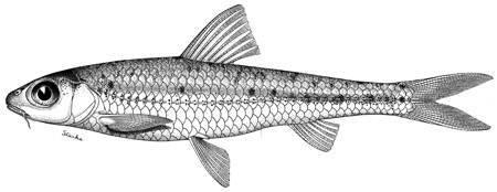 Image of <i>Squalidus chankaensis</i> ssp. <i>biwae</i> (Jordan & Snyder 1900)