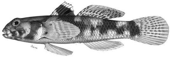 Image of <i>Gobius poecilichthys</i> Jordan & Snyder 1901