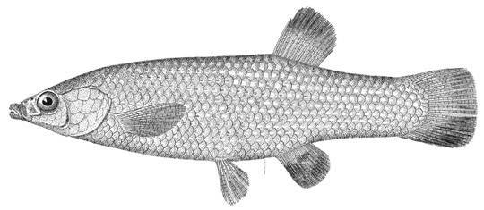 Image of blackfin goodea