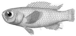 Image of <i>Grammatonotus laysanus</i> Gilbert 1905