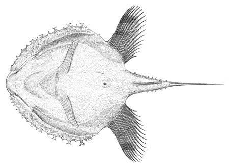 Image of Pancake Batfish
