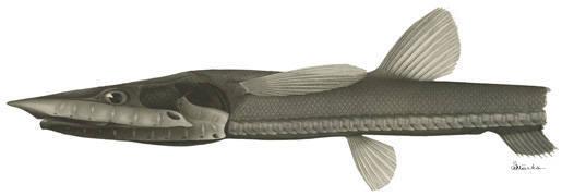Image of Baldhead Halosaur